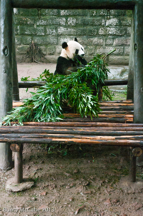 Pandas seem to eat or sleep, though a younger one was up a tree.